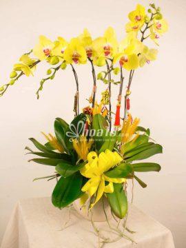 chậu hoa lan màu vàng